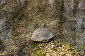 picture of terrapin turtle  - Turtle sitting on a log next to the pond in vivo.