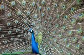 image of female peacock  - Peacock fully spreads its colourfu tail to attract female - JPG