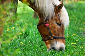 stock photo of horses eating  - Brown horse eating grass on summer meadow - JPG