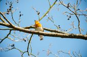 stock photo of robin bird  - cute little robin bird singing on a spring time tree branch - JPG