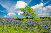 stock photo of bluebonnets  - Bluebonnets on display in rural Texas on a sunny spring afternoon - JPG