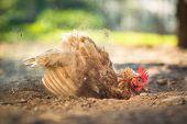 pic of hen house  - Hen in a farmyard  - JPG