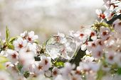 image of glass heart  - glass clear heart in Spring with blossom cherry flower sakura - JPG