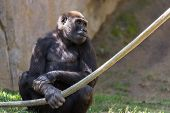 foto of gorilla  - young western gorilla at a zoo in California holding on to a rope - JPG