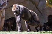 picture of gorilla  - new baby gorilla at the zoo holding on to his moms as she walks - JPG
