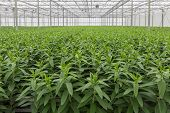 pic of cultivation  - Dutch Greenhouse with cultivation of lily flowers - JPG