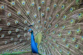 stock photo of female peacock  - Peacock fully spreads its colourfu tail to attract female - JPG