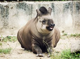 foto of terrestrial animal  - South American tapir  - JPG