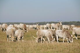 foto of calf cow  - Hungarian gray cattle cows with calves grazing on pasture summertime - JPG