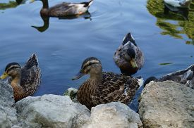 stock photo of zoo  - Duck at the zoo  - JPG