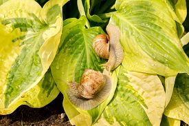 image of garden snail  - Two garden snail on green and yellow hosta leaves - JPG