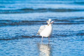 picture of flounder  - A seagull stand in the water with a flounder fish in the beak - JPG