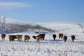 Cattle In Winter