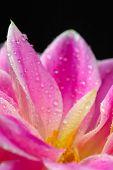 close up of Dahlia rosa Blume