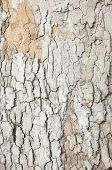 crisp platan bark texture with harsh shadows