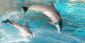 Two dolphins show