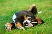 stock photo of dog park  - Portrait of puppy Bernese mountain dog playing on grass - JPG