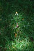 Bannana Spider