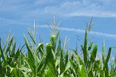 Corn Tassels Against Blue Sky