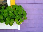 Purple House White Window Box