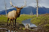 stock photo of caribou  - Alaskan Caribou was taken about an hour outside of Anchorage - JPG