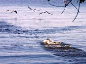 Dog Chasing Pelicans
