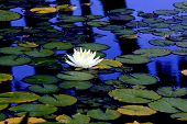 image of single flower  - A single white lotus flower atop lily pads in a calm reflection pond - JPG