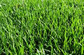 picture of fescue  - Green Grassy lawn background - JPG