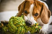 Beagle Dog Biting And Chewing On Rope Knot Toy poster