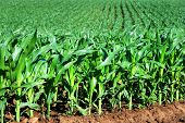 Healthy young maize plants in a big field