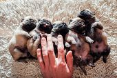 Five Pug Dog Puppies Sleeping On Carpet At Home. Little Puppies Lying Together On Their Backs poster