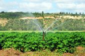 Irrigation sprinkler watering a potato field