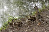 A Wild Mother Duck By A Pond Is Alert To Danger As She Protects Her Clutch Of Fuzzy Duckling Babies poster