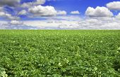 a Potato field with beautiful cloudy sky