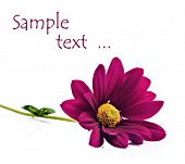 Deep pink chrysanthemum flowers on a pure white background with space for text