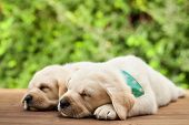 Labrador puppies lying side by side, sleeping on wooden deck - on green foliage background, close up poster