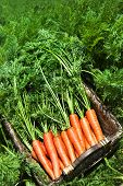 Freshly picked carrots in a basket in a carrot field on a farm