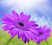 Spring background with pink daisies