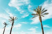 Tall Palm Trees Exotic Clear Blue Sky As Background poster