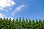 Urweltmammutbaum Bäume