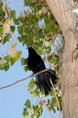 Grackle bird In Cottonwood Tree