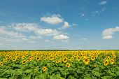 Sunflower Agricultural Landscape Background. Close Up Of Sunflowers Field Background. Sunflowers Fie poster