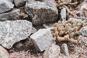Cactus Growing Among Stones. Desert Plant Growing At The Botany Garden poster