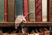Close-up Two Young Mice On  The Old Books On The Shelf In The Library. Concept Of Rodent Control. poster
