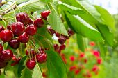 A Ripe Bunch Of Cherries Is Taken Close-up To The Left Of The Center On A Blurred Background. Appeti poster