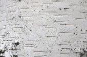 Pattern Of Birch Bark With Black Birch Stripes On White Birch Bark And With Wooden Birch Bark Textur poster