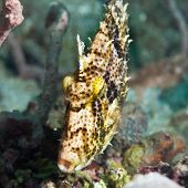 Macro shot of a tropical fish Filefish underwater