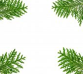 Frame made with thuja twigs isolated on white, copyspaced