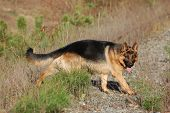 German Shepard Dog