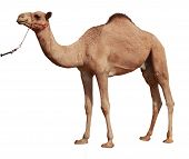 stock photo of hump  - one hump Camel with harness against white background - JPG